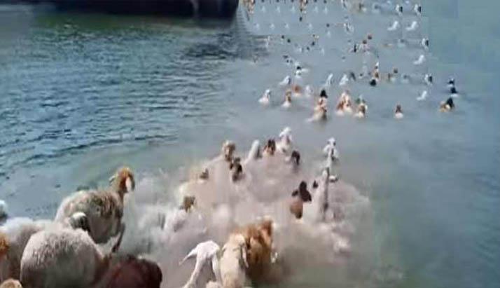 লক্ষ্মীপুরে নদীর পানিতে ডুবে মারা গেছে ৩৭৫ ভেড়া
